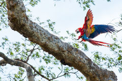 En arapapegoja från Costa Rica Royaltyfria Foton