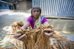 En arbetare för gammal kvinna som bearbetar gruppen av tobak i Dhaka, manikganj, Bangladesh Arkivbilder