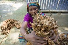 En arbetare för gammal kvinna som bearbetar gruppen av tobak i Dhaka, manikganj, Bangladesh Royaltyfri Foto