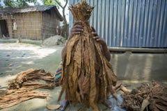 En arbetare för gammal kvinna som bearbetar gruppen av tobak i Dhaka, manikganj, Bangladesh Royaltyfria Foton