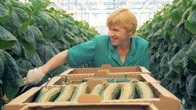 En arbetare söker efter gurkor i ett växthus lager videofilmer