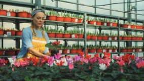 En arbetare tar omsorg av cyklamen på ett växthus som bevattnar växter arkivfilmer