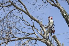En arborist som använder en chainsaw för att klippa ett valnötträd fotografering för bildbyråer
