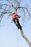 En arborist som klipper ett träd Royaltyfri Bild