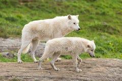 En arktisk varg i dess naturliga inställning Arkivfoton