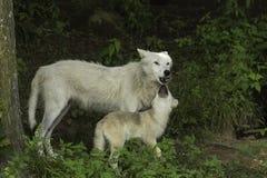 En arktisk varg och dess gröngöling Royaltyfria Foton