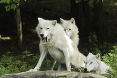 En arktisk vargpacke i en skog Royaltyfri Fotografi
