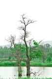 En arrière mort arbre dans le son Verdâtre-Gris Images libres de droits