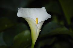 En arumlilja, Zantedeschiaaethiopica, endemic till sydliga Afri arkivbilder