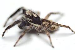 En asiatisk spindel Arkivbild