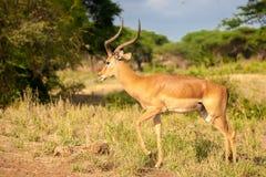 En atelope står, safari i Kenya Royaltyfri Fotografi