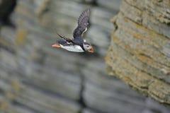 En atlantisk lunnefågel dyker från en klippa Royaltyfri Fotografi