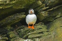 En atlantisk lunnefågel står ingången till dess rede Royaltyfria Bilder