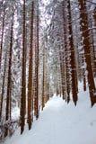 En augmentant la forêt traînez dans la neige fraîche à Hala Kondratowa, Zakopane, Tatry image libre de droits