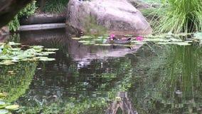 En Australasian Swamphen, porphyriomelanotus, i dammet av en trädgård för japansk stil i Australien stock video