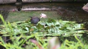 En Australasian Swamphen, putsar sig på att sväva waterlily sidor bredvid blomman stock video