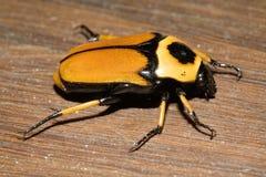 En Australia, el insecto anaranjado de cuernos imagen de archivo