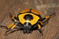 En Australia, el insecto anaranjado de cuernos fotos de archivo