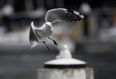 En Australia, el pájaro aerotransportado que presenta para la lente Fotografía de archivo libre de regalías