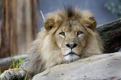 En Australia, también, el león que mira hacia fuera en usted imagen de archivo libre de regalías