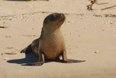 En australisk sjölejon för valp på stranden Arkivfoton