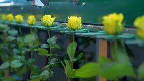 En automatisk blommafabriksväghyvel transporterar gula rosor lager videofilmer
