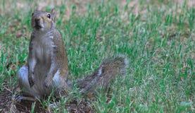 En av de dagar - Squirrrel Arkivfoton