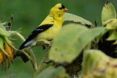 En av de många sångfåglarna som hedrar djurlivfristaden för sju öar Fotografering för Bildbyråer