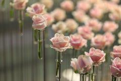 En av många - rosa färgros under rosa rosor Royaltyfri Foto