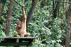 En av orangutanget Utan i Rasa Ria Resort, Tuaran, Sabah Arkivfoto