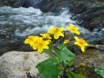 En av våren Primflowers - Calthapalustris royaltyfri fotografi
