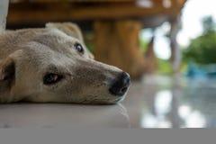 En avkopplad hund i ett kafé Royaltyfri Fotografi