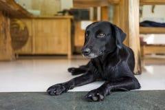 En avkopplad hund i ett kafé Arkivfoto