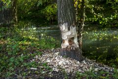 En bäver lämnade jobbhalvan gjord!!! Trädet är det endast halva snittet omkring royaltyfri bild