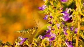 En bönsyrsa på blommahelgedombasilika Arkivbilder