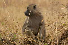En babian arkivbild