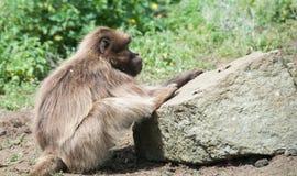 En babian djupt i tanke Arkivfoto