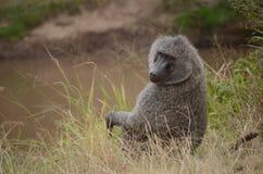 En babian poserar för kameran Royaltyfria Bilder