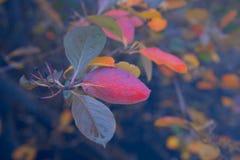 En bakgrund av karmosinröda höstfilialer med regndroppar royaltyfri foto