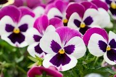 En bakgrund av mörka rosa och vita pansies blommar Royaltyfri Fotografi