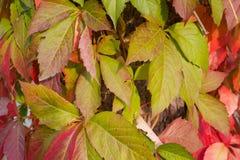 En bakgrund av röda och gröna höstliga sidor royaltyfri fotografi