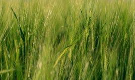 En bakgrundsbild av det gröna kornfältet Royaltyfria Foton