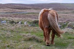 En bakre sikt av en ensam Shetland ponny på en skotsk hed på det Sh royaltyfria bilder