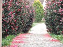 En bana mellan två buskar med blommor Arkivbilder