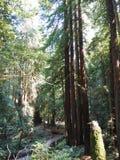 En bana till och med redwoodträdträd Arkivbild