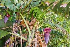 En bananblomma Royaltyfria Bilder