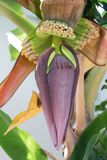 En bananblomning med en liten banan på trädet fotografering för bildbyråer