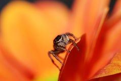 En banhoppningspindel på den orange blomman Arkivbild