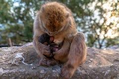 En Barbary macaque med nyfött behandla som ett barn arkivbilder
