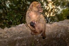En Barbary macaque med nyfött behandla som ett barn royaltyfri foto